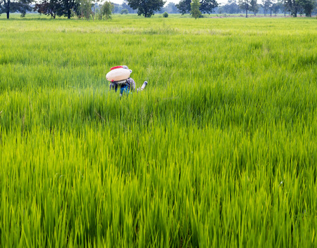 Rear view of Thai male farmers spraying fertilizer on rice paddy field in Thai countryside.