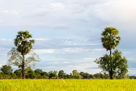 Both trees grow tall palm trees, which directly interfere on a rice field in rural sky is basically the back. Stock Photo