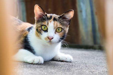 Close-up of a three-color cat face, which is hiding and staring at something on the concrete floor next to the house.