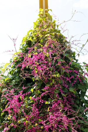 Confederate Vine Corallita; Coral Vine blooming early in the morning, planted on the fence.