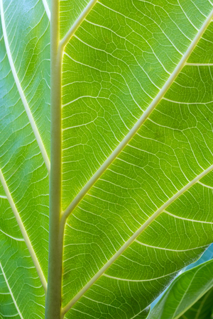 Close-detailed background breadfruit leaves light green, which has a unique pattern of lines beautifully.