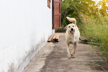 A white Thai dog is running on the concrete floor next to a house in the Thai countryside. Stock fotó