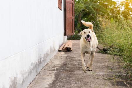 Ein weißer thailändischer Hund läuft auf dem Betonboden neben einem Haus in der thailändischen Landschaft.