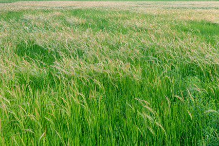 Many beautiful weed grasses that grow in rice fields interfere with the farming of rural Thailand.