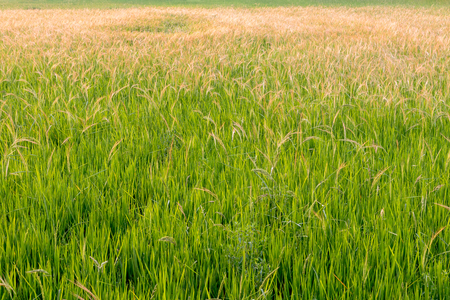 weed grasses that grow in rice fields interfere with the farming of rural Thailand. Stock Photo