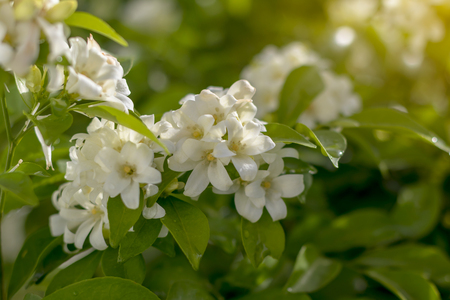 Murraya paniculata is a beautiful blooming backlight with dew and blurred bokeh as a backdrop. 免版税图像