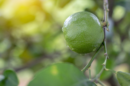 Close-up of green lime with dew drops with early morning light and green leaves blurring behind. Banque d'images