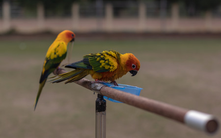 Close-up images of small, colorful parrots caught on a wooden stick to wait for training to fly over the lawn. 스톡 콘텐츠