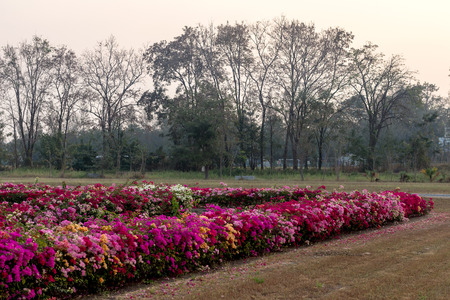 Beautiful colorful bougainvillea scenery with trees on one of the drier parks in the early morning Thai countryside. Stock Photo