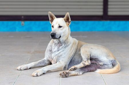 A white Thai dog lying half sitting and staring at something on the tile floor in front of a house hesitated. Stock Photo