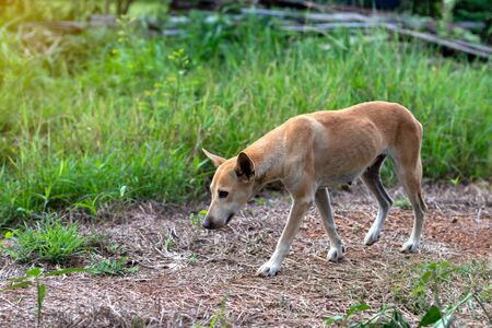One brown Thai dog that is thin, walking on the soil, laterite, grass and weeds in the Thai countryside. Stock Photo