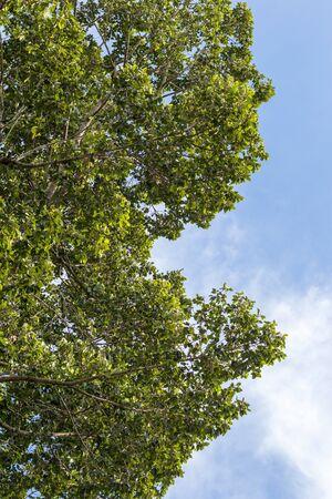 Close-up, lage hoekmening, talrijke bladmeningen van een grote hoge rubberboom tegen de daghemel als achtergrond. Stockfoto