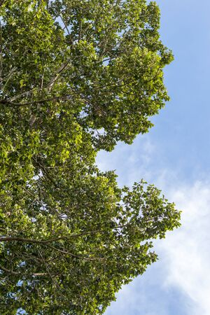 Close-up, low angle view, numerous leafy views of a large tall rubber tree against the daytime sky as a backdrop. Zdjęcie Seryjne