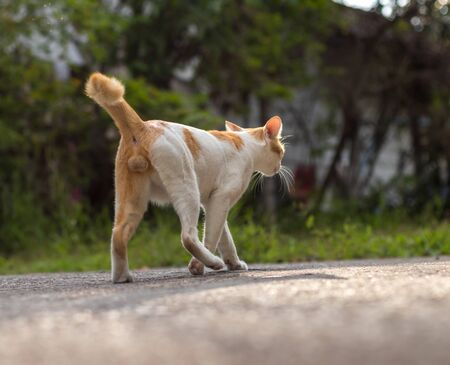 View from behind A yellow and white Thai cat is walking uninterruptedly on a paved road near the habitat, which is an abandoned house. Reklamní fotografie
