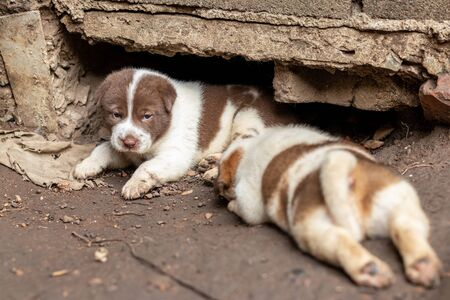 Both brown and white Thai puppies reside waiting for their mother near the concrete burrows on the ground in the Thai countryside.