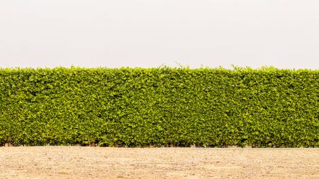 Isolieren, Wandhintergrund, Zaun aus dichten grünen Blättern und Büschen, die auf einer Schmutzoberfläche in einer ländlichen Gegend wachsen.