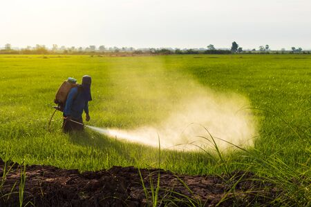 A Thai farmer wore a blue T-shirt with a cloth covering the face, spraying herbicides on a green rice field near the mound.