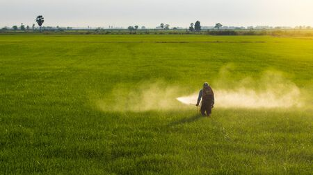 A Thai farmer wore a blue T-shirt with a cloth covering the face, spraying herbicides on the vast green rice field in the early morning hours. Stockfoto