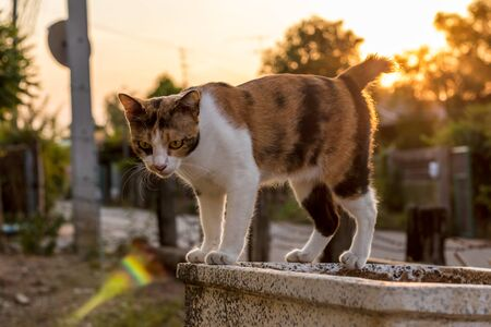 One three-color Thai cat standing back in the afternoon sunlight on the edge of an old concrete basin in the Thai countryside.