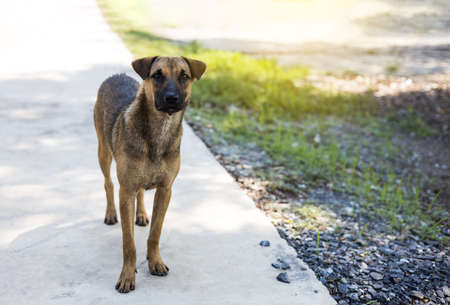 Close-up, a black and brown Thai dog standing on the concrete floor with a stone and staring at something.