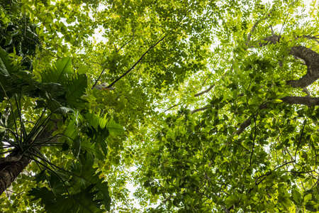 Low angle view of Monstera deliciosa Liebm leaf forest with other types of leaves taken in daylight in a public forest park in rural Thailand.