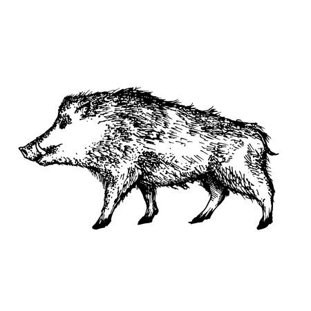 boar realistic drawing. Vector Illustration