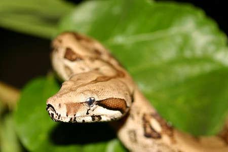 Boa snake Stockfoto