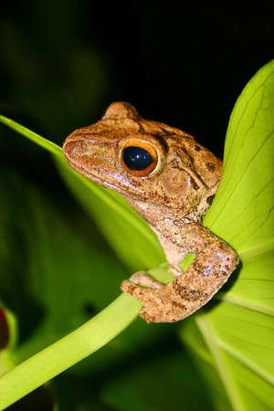 Brown tree frog Stock Photo - 10015946