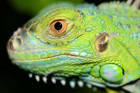 El Salvador Green Iguana