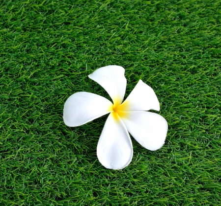 Plumeria on the green grass photo