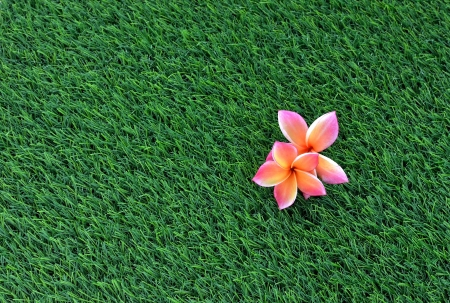 Pink frangipani on the green grass photo