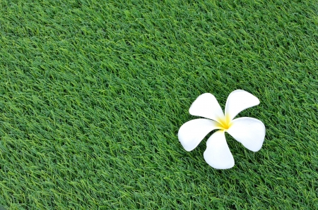 White plumeria on the grass photo