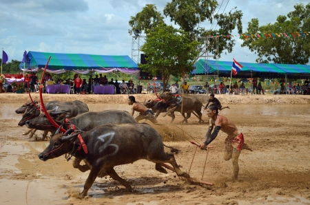 Buffalo racing festival on August 19, 2012 the tradition of Thai contests, festival held its annual at Nongprue Chonburi. Editorial