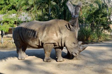 rhinoceros in national park photo