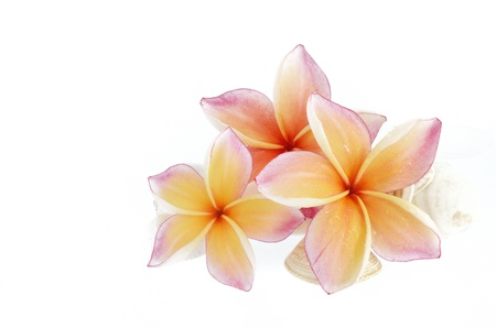Plumeria flowers and sea shells isolated on white photo