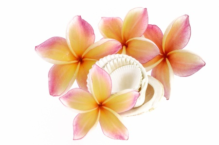 Plumeria flowers and sea shells isolated on white Stock Photo
