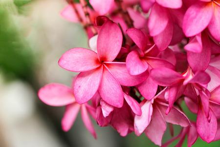 Plumeria flower pink,The most beatiful plumeria flower blooming on tree spa flower