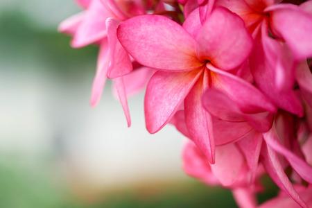 Plumeria flower pink,The most beatiful plumeria flower blooming on tree spa flower Stock Photo - 104365144