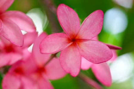 Plumeria flower pink,The most beatiful plumeria flower blooming on tree spa flower Stock Photo - 104365439