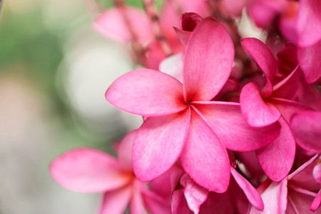 Plumeria flower pink,The most beatiful plumeria flower blooming on tree spa flower Stock Photo - 104365441