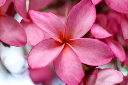 Plumeria flower pink,The most beatiful plumeria flower blooming on tree spa flower Stock Photo - 104592866