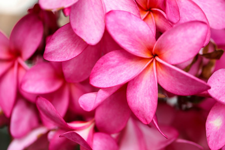 Plumeria flower pink,The most beatiful plumeria flower blooming on tree spa flower Stock Photo - 105036103