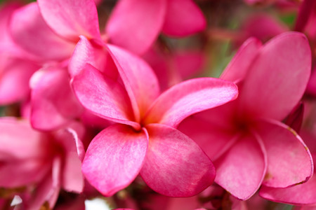 Plumeria flower pink,The most beatiful plumeria flower blooming on tree spa flower Stock Photo - 105036120