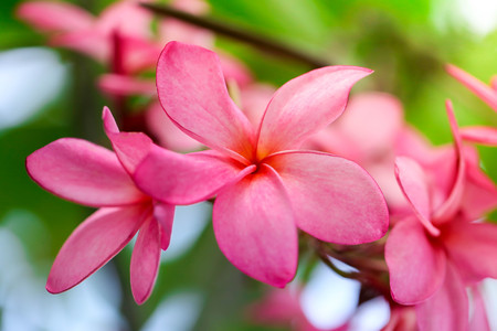 Plumeria flower pink,The most beatiful plumeria flower blooming on tree spa flower Stock Photo - 105036174