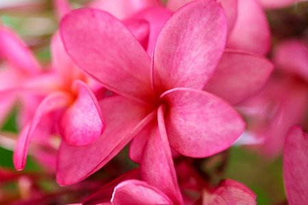 Plumeria flower pink,The most beatiful plumeria flower blooming on tree spa flower Stock Photo - 105036185