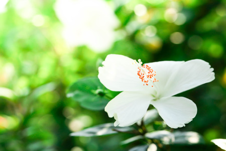 Flowers carpel nature soft focus closeup blur background pollen, Hibiscus pink and white flower. Stock Photo