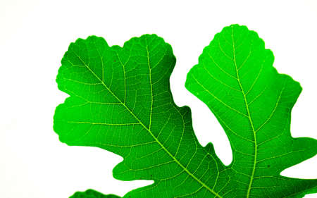 The fig leaves on a white background is not full. Stock Photo