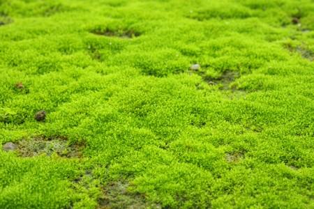 liquen: Liquen verde