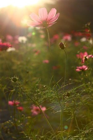 Pink cosmos field backlit photo