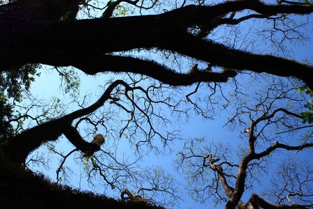 Big tree branches silhouette on clear blue sky photo